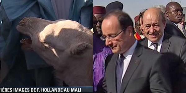 Mali : le chameau de Hollande a été mangé