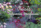 roses-anciennes-anglaises